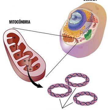 El ADN mitocondrial podría ser el causante de las enfermedades…