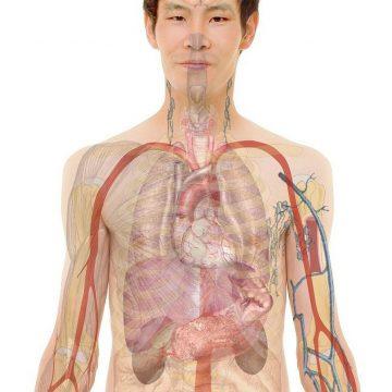 Las células madre con niveles altos de telomerasa regeneran el…