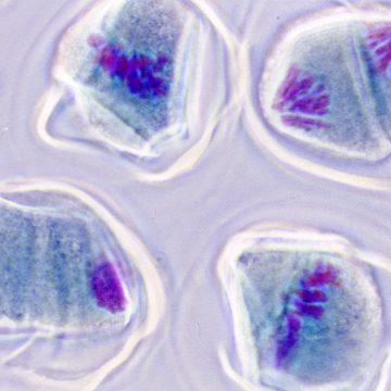 Identifican las células madre 'ideales' para regenerar la sangre