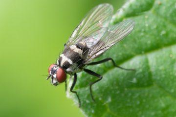 Investigadores españoles hallan en las moscas una diana contra el cáncer