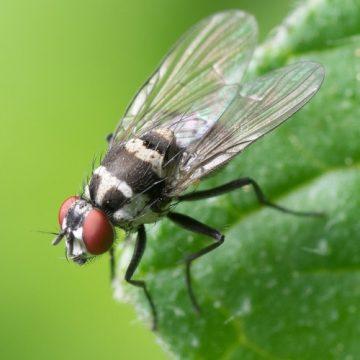 Investigadores españoles hallan en las moscas una diana contra el…