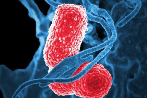 Una microbiota sana refuerza el sistema inmunitario intestinal